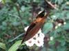 Papillon_comme_feuille_mort_2